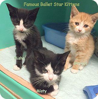 Domestic Shorthair Kitten for adoption in Cliffside Park, New Jersey - MARGOT