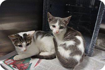 Domestic Shorthair Kitten for adoption in Henderson, North Carolina - Stage Kittens (6)