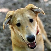 Collie/Labrador Retriever Mix Dog for adoption in Roswell, Georgia - Bud
