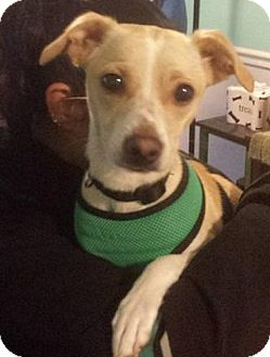 Italian Greyhound/Chihuahua Mix Dog for adoption in Freeport, New York - Loli