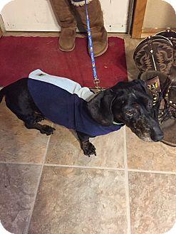 Dachshund Mix Dog for adoption in Manhattan, Kansas - Rocket