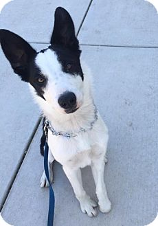 Border Collie Puppy for adoption in San Pedro, California - CHEWY (Courtesy List)