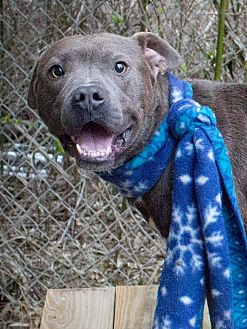 American Pit Bull Terrier Mix Dog for adoption in Kingston, Tennessee - Blue