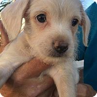 Adopt A Pet :: Sir Giovanni Martinelli Angel - Corona, CA