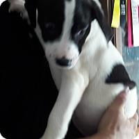 Adopt A Pet :: Bullwinkle - Staunton, VA
