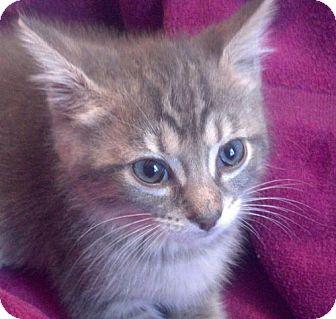 Domestic Shorthair Kitten for adoption in Trenton, New Jersey - Henry (WS)