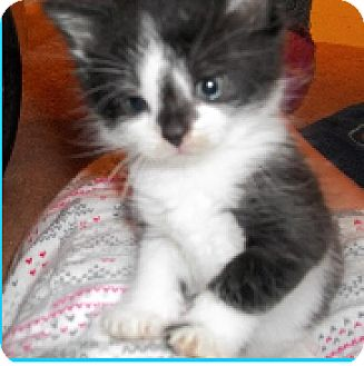 Domestic Shorthair Kitten for adoption in Huntley, Illinois - Penny