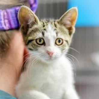 Domestic Shorthair/Domestic Shorthair Mix Kitten for adoption in Blairsville, Georgia - Hannah