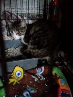 Domestic Shorthair/Domestic Shorthair Mix Cat for adoption in Oswego, New York - Marnie Yesensky