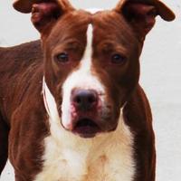 Adopt A Pet :: Sugar Bear - Toccoa, GA