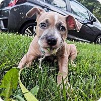 Adopt A Pet :: Groot - North Haledon, NJ