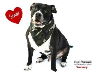 American Bulldog Mix Dog for adoption in Port Charlotte, Florida - Smokey