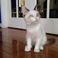 Adopt A Pet :: August -Blue Eyes - Arlington, VA