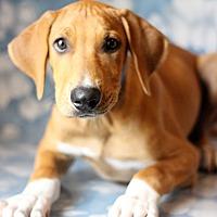 Adopt A Pet :: Big Red - Waldorf, MD