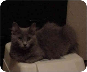 Russian Blue Kitten for adoption in Overland Park, Kansas - Anna