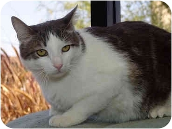 Domestic Shorthair Cat for adoption in San Diego, California - Charlie
