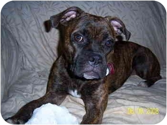 Boxer Dog for adoption in Gainesville, Florida - Madeline