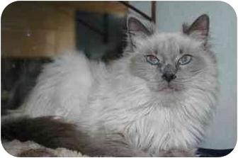 Himalayan Cat for adoption in Walker, Michigan - Puff