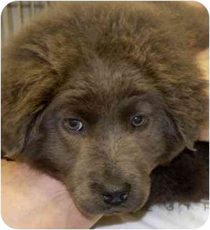 Chow Chow Puppy for adoption in Inman, South Carolina - Sterling
