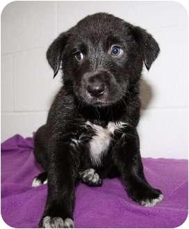 Labrador Retriever/German Shepherd Dog Mix Puppy for adoption in Muskegon, Michigan - Connor