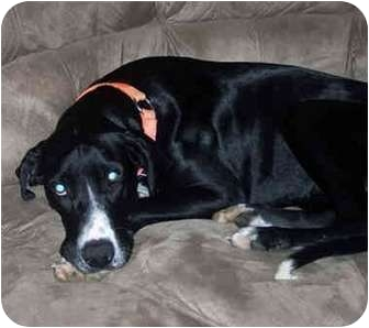 Great Dane Puppy for adoption in York, Pennsylvania - LONDON