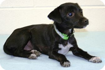 Chihuahua Mix Puppy for adoption in Westminster, Colorado - SIGMUND