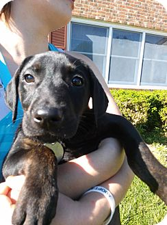 Doberman Pinscher Mix Puppy for adoption in South Jersey, New Jersey - Nike