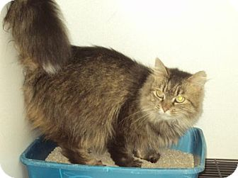 Domestic Longhair Cat for adoption in Mt. Vernon, Illinois - Macaroni