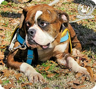 Boxer Dog for adoption in New Orleans, Louisiana - Bugz