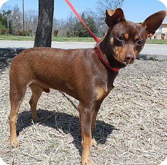 Miniature Pinscher Mix Dog for adoption in Lancaster, Texas - Ceasar
