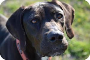 Great Dane Mix Dog for adoption in Dallas, Texas - Hank