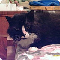 Domestic Mediumhair Cat for adoption in San Francisco, California - Jezebela