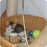 Adopt A Pet :: kittens - Etobicoke, ON