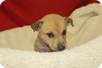 Shepherd (Unknown Type) Mix Puppy for adoption in Waldorf, Maryland - Rosie