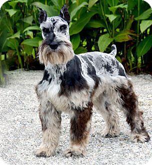 Schnauzer (Standard) Dog for adoption in Hagerstown, Maryland - Jasper