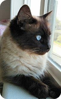 Siamese Cat for adoption in HILLSBORO, Oregon - Mae