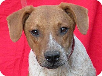 Australian Cattle Dog/Beagle Mix Dog for adoption in Harrisburg, Pennsylvania - Red