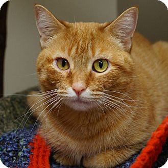 Domestic Shorthair Cat for adoption in Naperville, Illinois - Charlotte