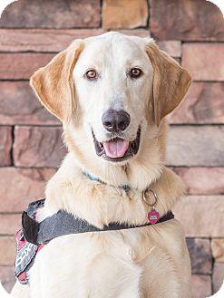 Labrador Retriever/Golden Retriever Mix Dog for adoption in Chandler, Arizona - Loona