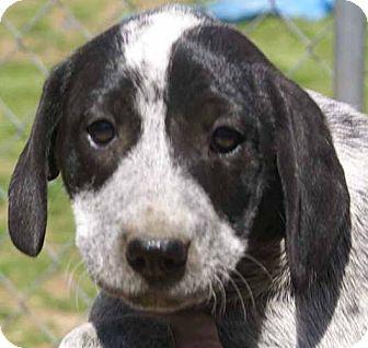 Blue Heeler/Labrador Retriever Mix Puppy for adoption in Spring Valley, New York - Jackie