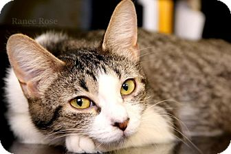 Domestic Shorthair Cat for adoption in Sterling Heights, Michigan - Crystal-ADOPTED
