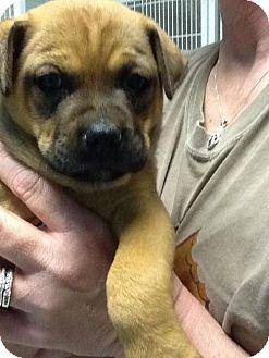 Shepherd (Unknown Type) Mix Puppy for adoption in Phoenix, Arizona - Daisy