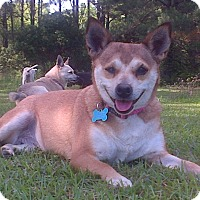 Chihuahua/Terrier (Unknown Type, Small) Mix Dog for adoption in Marion, Alabama - Missy