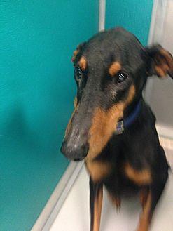 Doberman Pinscher Dog for adoption in Bixby, Oklahoma - Cooper