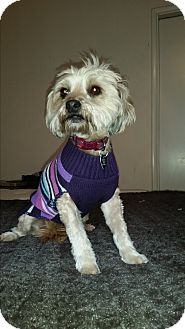 Shih Tzu Mix Dog for adoption in Burbank, California - Ruby