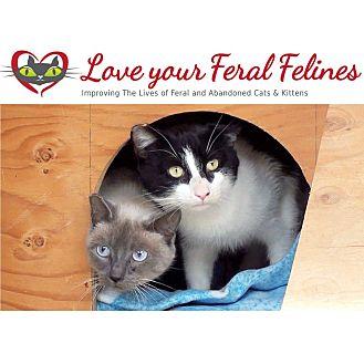 Domestic Shorthair Cat for adoption in Bonsall, California - Barn Cat