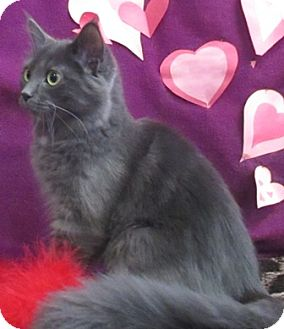 Domestic Mediumhair Cat for adoption in Lloydminster, Alberta - Nadie