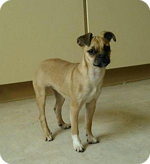 Pug/Beagle Mix Puppy for adoption in Sharon Center, Ohio - Paisley