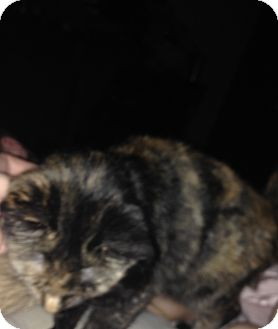 Munchkin Cat for adoption in Sterling Heights, Michigan - Belle