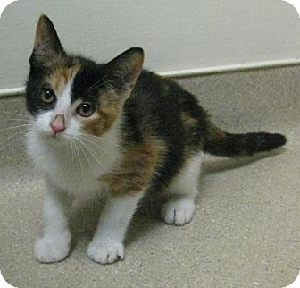 Domestic Shorthair Kitten for adoption in Gary, Indiana - Tawny